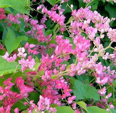 Từng chùm hoa cây ti gôn màu hồng nhạt