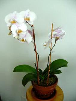 Lan Hồ điệp thường hay rụng hoa nếu để ở những nơi có điều kiện không phù hợp