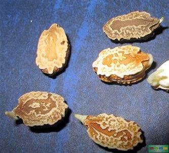 Không nên ủ hạt quá lâu, khi thấy hạt nứt vỏ, nhú rễ là đem gieo vào đất trồng ngay