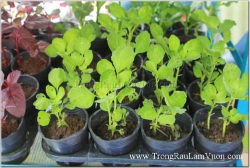 Trồng rau sạch tại nhà đang là xu hướng chung vừa là để thư giãn vừa có thể kiểm soát được chất lượng của rau