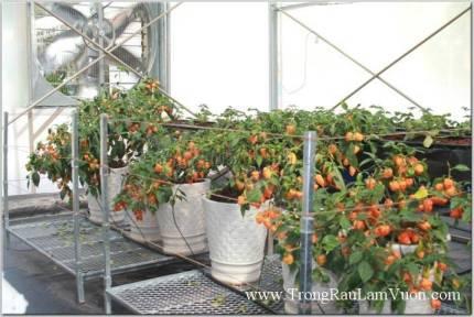 Mô hình sản xuất ớt trong nhà kính
