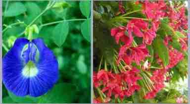 sắc hoa Đậu biếc và Sử quân tử