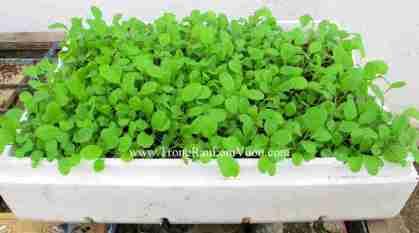trồng rau cải tại nhà