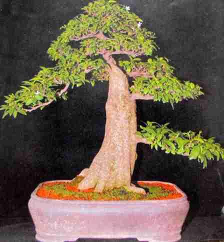 cây Bonsai nhìn từ mặt sau