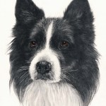 Dog – BORDER COLLIE HEAD