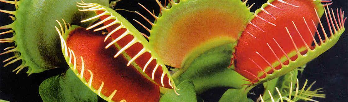 SamenRaritten Fleischfressende Pflanzen