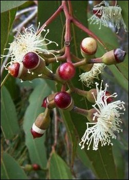 SamenRaritten Australien ZitronenEucalyptus