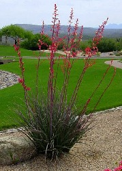 SamenRaritten Tropenzauber Rote Yucca