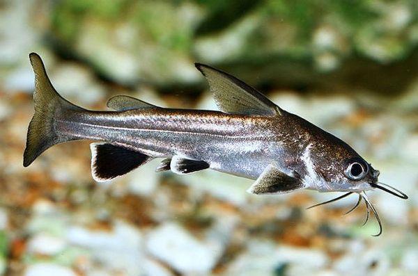 Columbian Shark Arius jordani Tropical Fish Keeping