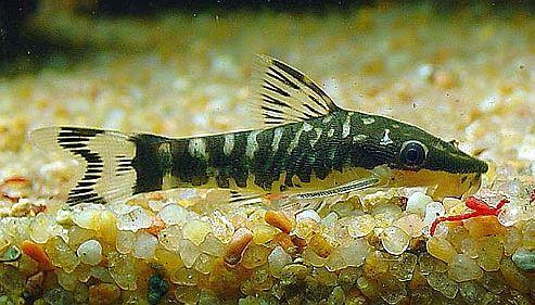 zebra otocinclus catfish otocinclus