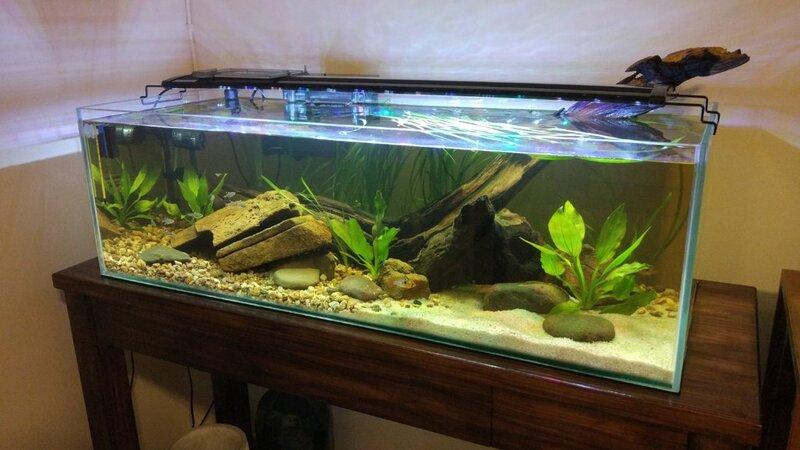 German Blue Rams in their new home   Tropical Aquariums SA