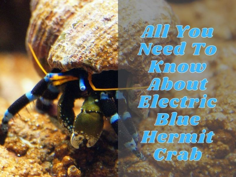 All You Need To Know About Electric Blue Hermit Crab