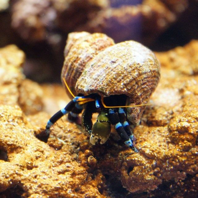Elegant Hermit Crab