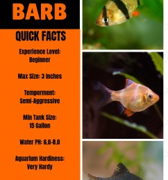 tiger barb fish care ultimate guide to tiger barbs feeding breeding and compatible tank mates [ 800 x 1200 Pixel ]