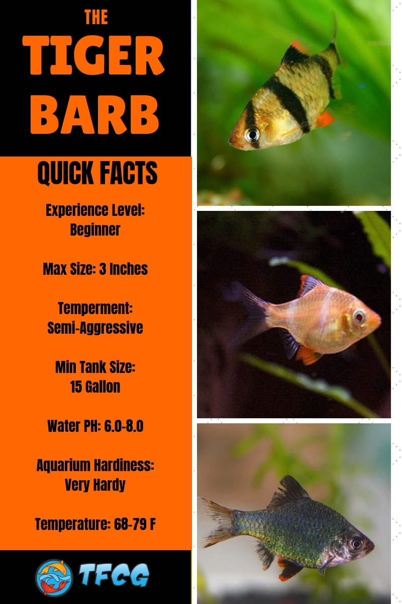 medium resolution of tiger barb fish care ultimate guide to tiger barbs feeding breeding and compatible tank mates