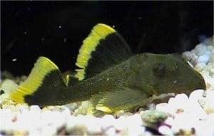 Magnum Pleco  Baryancistrus Specie L047  Tropical Fish Site