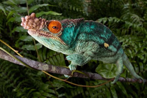 Calumma Parsonii Tropical Herping