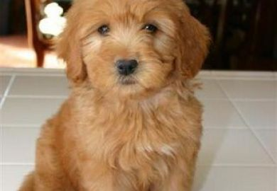 Miniature Goldendoodle For Sale Michigan