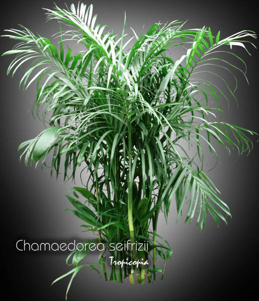 Bamboo House Plant