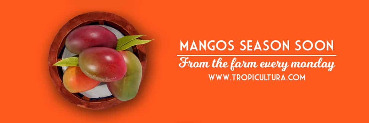 Organic mangos fresh from the farm