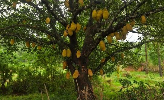 Jackfruit Ağacı