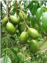 altin-elma