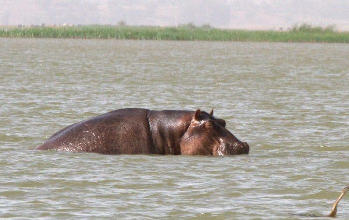 HIPOPÓTAMO EN EL LAGO TANA