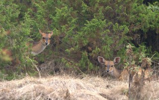 BUSCHBUCKS EN EL PARQUE NACIONAL SIMIEN MOUNTAINS