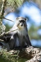 Wat te doen in Malawi: Samango Monkey in Zomba Forest Lodge