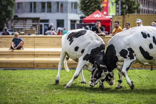 Koeien in Park Spoor Noord