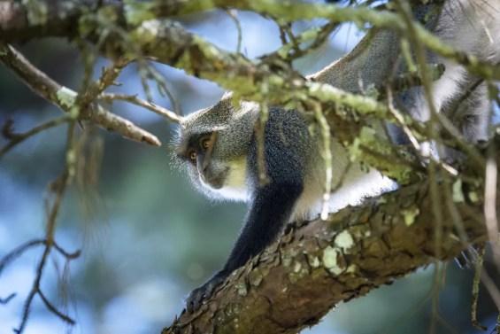 Samango Monkey in Zomba Forest Lodge 2