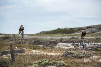 Caracaras in Pet Cemetery Aruba