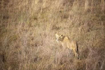 Leeuw in Nairobi National Park