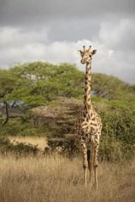 Giraf in Nairobi National Park