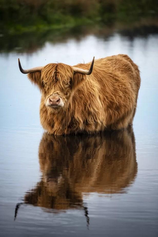 De Bollekamer Texel Schotse Hooglander