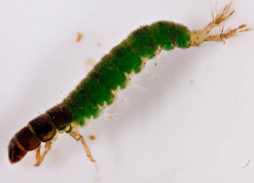 Hydropsychidae Caddisfly Larva Pictures