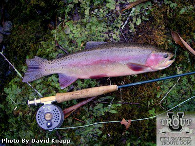 Fly Fishing the Upper Sacramento River California Trout