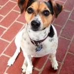 A Jack Russell Terrier named Lucy Dora