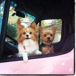 Chanel (Papillion) & Lucy (Yorkie) peaking from the Haute Pets van.