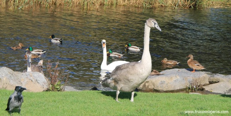 Avistamiento aves Irlanda Parque Killarney