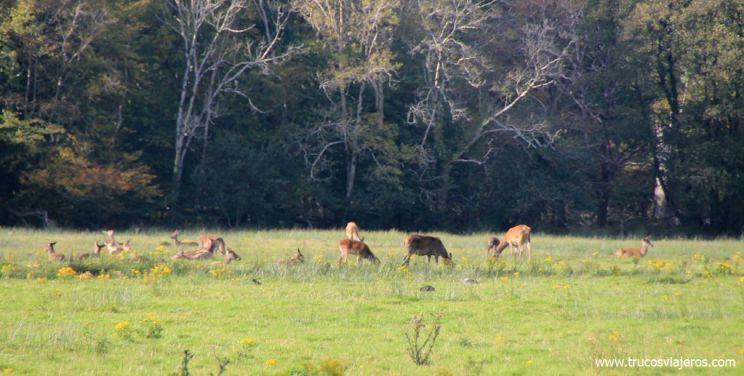 ver ciervos salvajes en Irlanda
