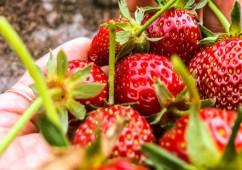 Erdbeeren gepflückt