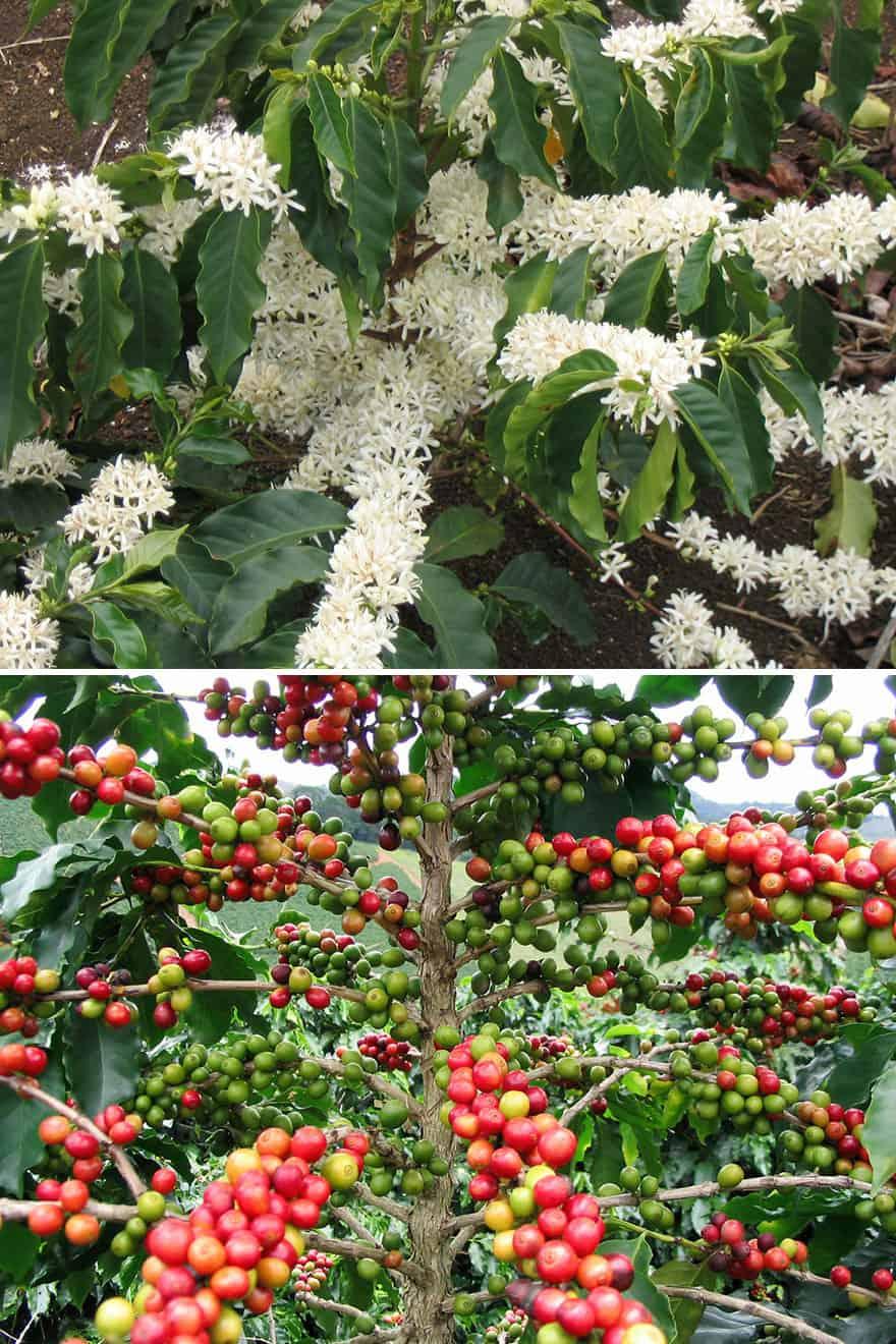 Coffee tree boughs.
