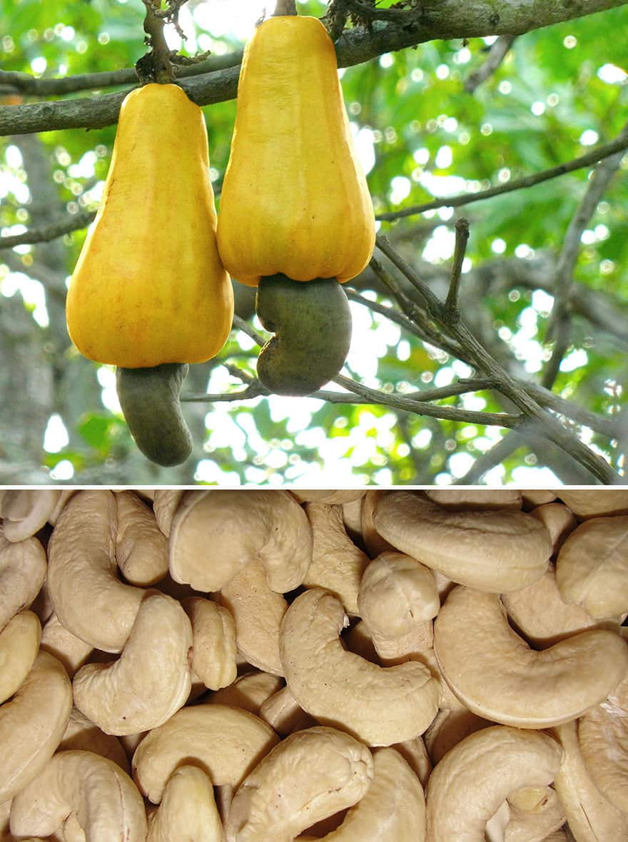 Cashews dangling from a limb.
