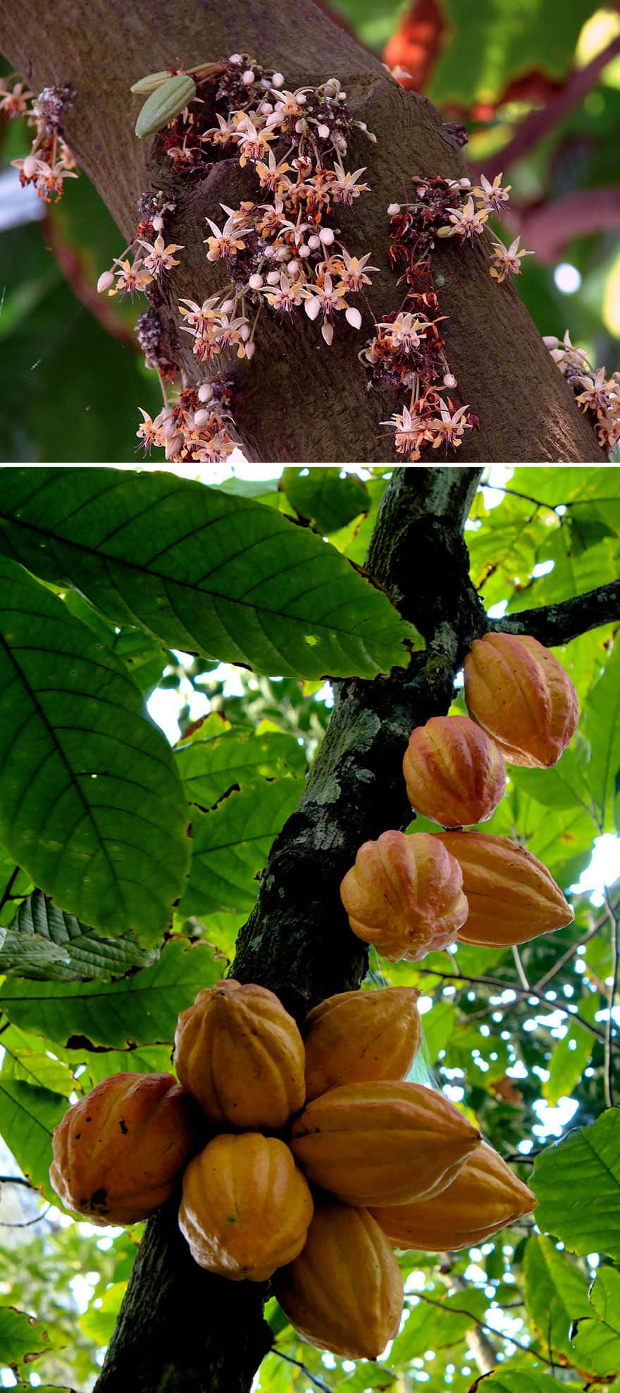Cacao growing on a tree.