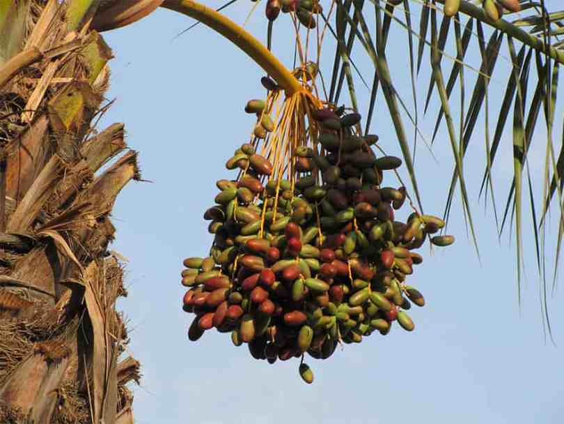 Ripening dates hanging from a palm tree.