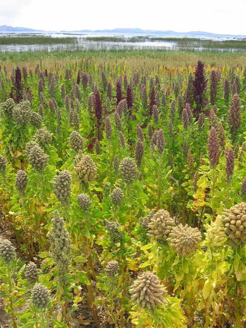 Quinoa growing in a large field