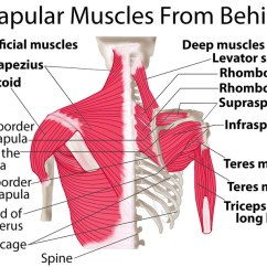 Clavicle Bone Blank Diagram Wiring For Automotive Lights Scapula-shoulder-blade-muscles-behind - True Form Chiropractic