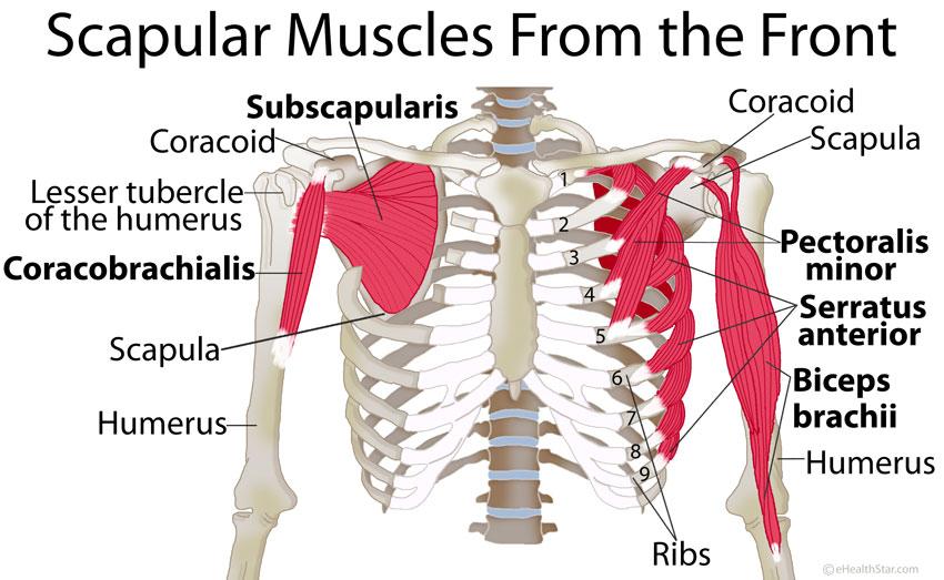 bones human skeleton diagram back 99 cherokee stereo wiring scapula-shoulder-blade-muscles-front - true form chiropractic