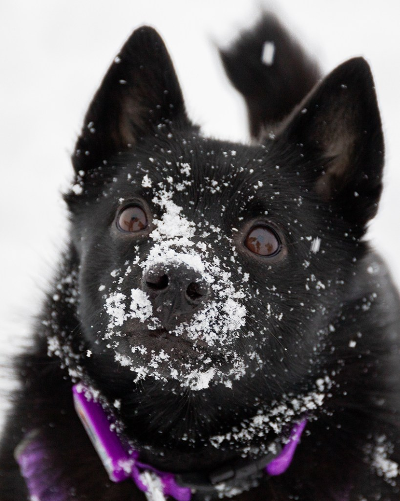 A dog romps in the snow